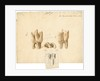Fossil teeth of rhinoceros and horse by Thomas Webster
