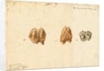 Fossil teeth of hippopotamus by Thomas Webster