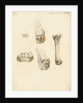 Fossil teeth and bones of boar by H O'Neil
