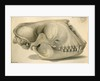 Seal skull by William Clift