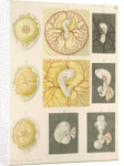 Embryo development in a hen's egg by Franz Andreas Bauer