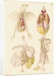 Dissected chick by Franz Andreas Bauer