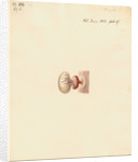 Guinea pig foetus and placenta by William Clift