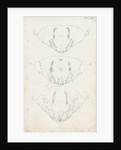 Posterior body parts of Aspidiotus zonatus, Aspidiotus ostreaeformis and Aspidiotus britannicus by Robert Newstead