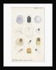 Parlatoria pergandii [Chaff scale], Parlatoria zizyphi [Black parlatoria scale] and Parlatoria proteus [Proteus scale] by Robert Newstead