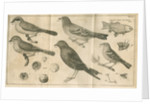 Birds, shells, a fish, an insect and a moth from Linnaeus's 'Swedish Fauna' by C Bergquist