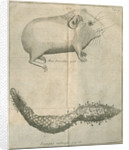 Guinea pig and 'Maltese mushroom' from Linnaeus's 'Academic delights' by Anonymous