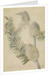 'Astragalus caulescens...' by Georg Dionysius Ehret