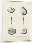 'Nautilus planatus...' [four specimens of foraminifera] by Henry Bowman Brady