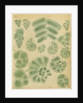 Textilarinen..Uvellinen..Helicotrochinen [specimens of foraminifera] by Henry Bowman Brady