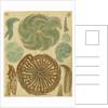'Nonionina bavarica…' [four specimens of foraminifera] by Henry Bowman Brady
