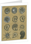 Twelve specimens of foraminifera by Henry Bowman Brady