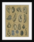 Seventeen specimens of foraminifera by Henry Bowman Brady
