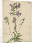 'Lychnidea Caroliniana floribus...' by Jacob van Huysum