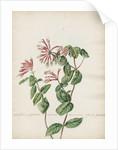 'Caprifolium perfoliatum...' by Jacob van Huysum