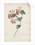 Periclymenum perfoliatum Virginianum... by Jacob van Huysum