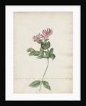 'Caprifolium non perfoliatum...' by Jacob van Huysum