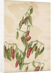 'Capsicum fructu...' by Jacob van Huysum