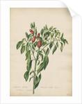Capsicum fructu olivario... by Jacob van Huysum