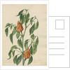 'Capsicum majus...' by Jacob van Huysum