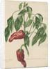 Capsicum fructu rugoso... by Jacob van Huysum