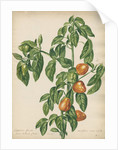 'Capsicum fructu cordiformi...' by Jacob van Huysum