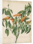 'Capsicum fructu flavo pyramidato...' by Jacob van Huysum