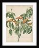 Capsicum fructu flavo pyramidato... by Jacob van Huysum