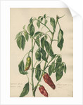 'Capsicum fructu oblongo rugoso...' by Jacob van Huysum