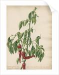 'Capsicum fructu non acre...' by Jacob van Huysum
