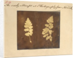 Two specimens of fern leaf by Caleb Burrell Rose