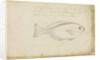 'Fish...from Bermuda' by Edmond Halley