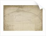 Tuna fish by Edmond Halley