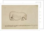 Vietnamese pot-bellied pig by Henry Hunt