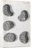 Microscopic views of poppy seeds by Robert Hooke
