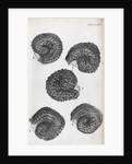 Microscopic views of purslane seeds by Robert Hooke