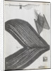 Microscopic views of feathers by Robert Hooke
