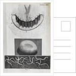 Microscopic views of a snail's teeth, silk-worm's egg and vinegar eels by Robert Hooke