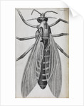 Microscopic views of a female gnat by Robert Hooke