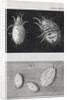 Microscopic views of mites by Robert Hooke