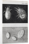 Microscopic views of mites by Robert Hooke