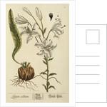 'Lilium album' by Elizabeth Blackwell