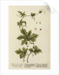 'Bryonia alba' by Elizabeth Blackwell