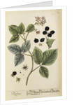 'Rubus' by Elizabeth Blackwell