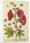 'Malva arborea' by Elizabeth Blackwell