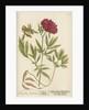 'Paeonia foemina' by Elizabeth Blackwell