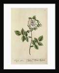 'Rosa alba' by Elizabeth Blackwell