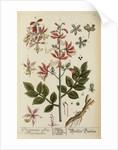 'Dictamnus albus' by Elizabeth Blackwell