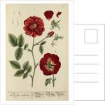 'Rosa rubra' by Elizabeth Blackwell