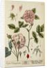 'Rosa damascena' by Elizabeth Blackwell